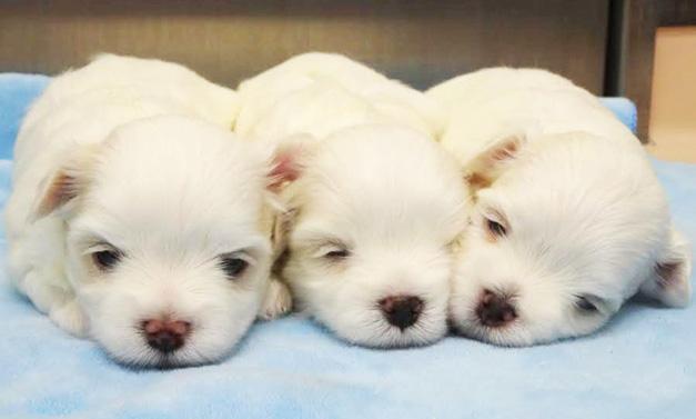 生まれて間もない子犬は病気になりやすい
